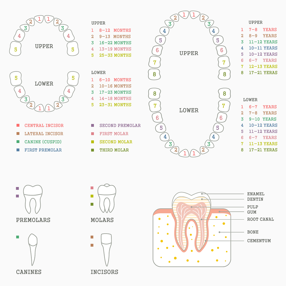Powerful Molars That Come In Many Shapes And Sizes