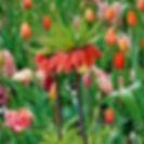 Fritllaria.jpg