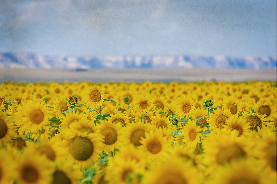 sunflowers-from-website_edited.jpg
