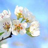 pear-blossoms.jpg