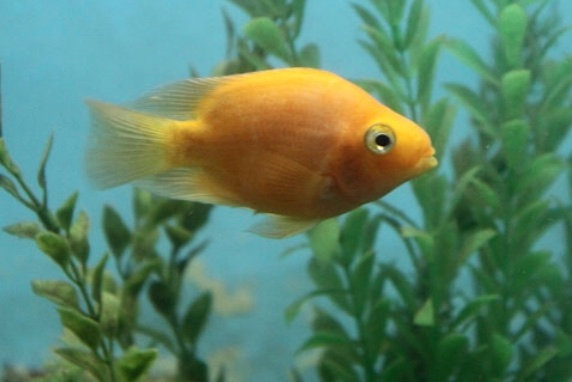 Yellow Parrot Cichlid