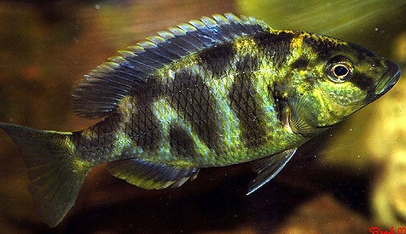 Venustus Malawi Cichlid
