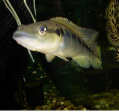 Pike Cichlid