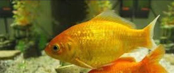 "3-4"" Canary Yellow Goldfish"