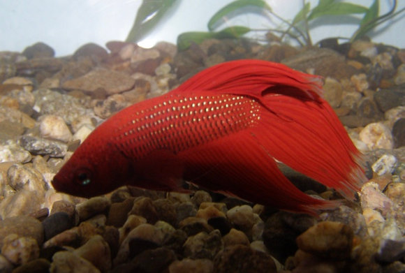 Male Red Siamese Fighter