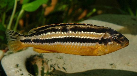 Auratus Malawi Cichlid