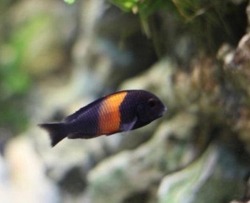 Red Banded Tropheus Cichlid