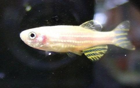 Golden Zebra Danio