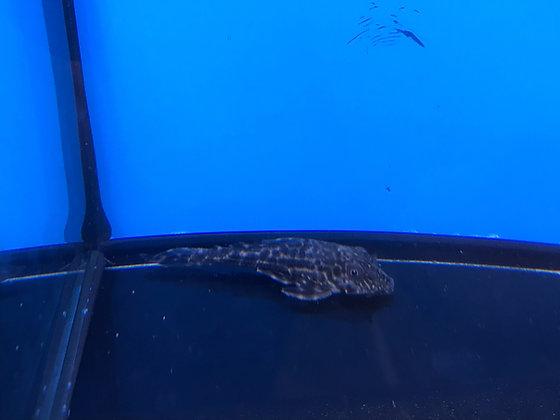 Common Plecostomus 6cm