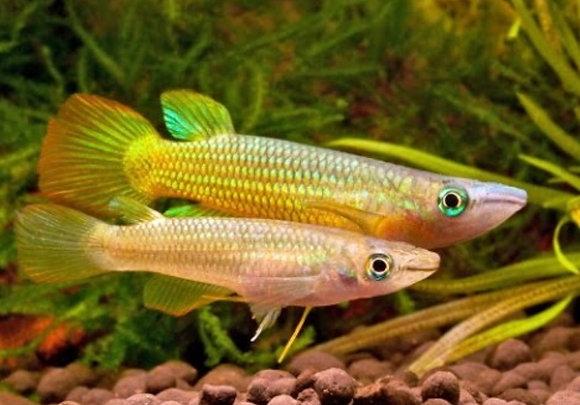 Golden Wonder Panchax Killifish