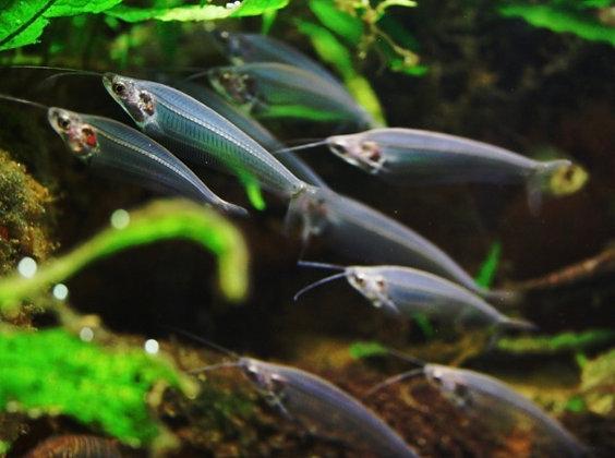 Glass Catfish
