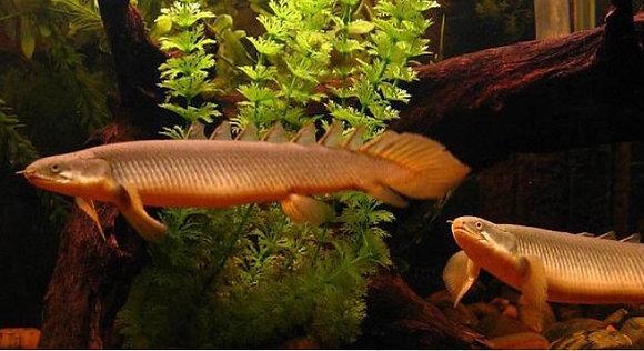 Senegalus Polypterus