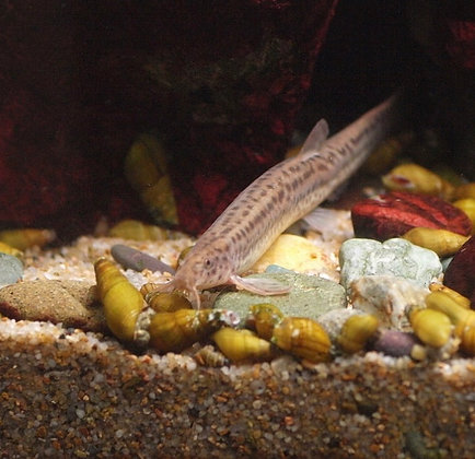 Brown Weather Loach