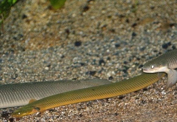 Rope/Reed Fish