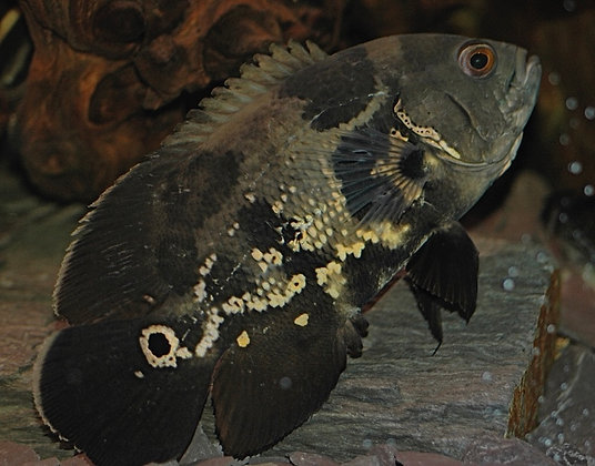 Common Wild Oscar Cichlid