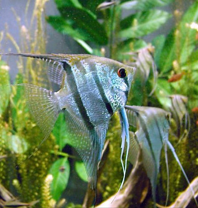 Zebra Angelfish 4-5cm