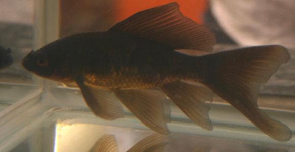 "2-3"" Black Goldfish"