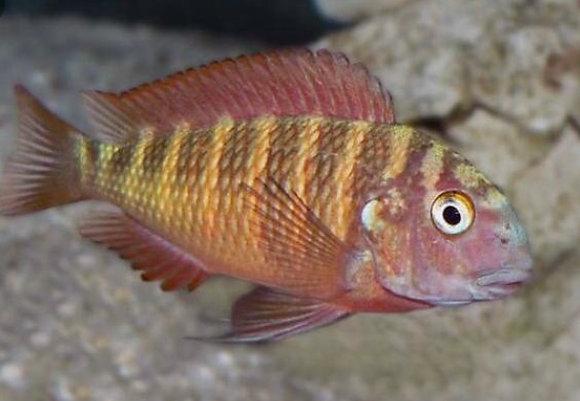 Firecracker Tropheus Cichlid