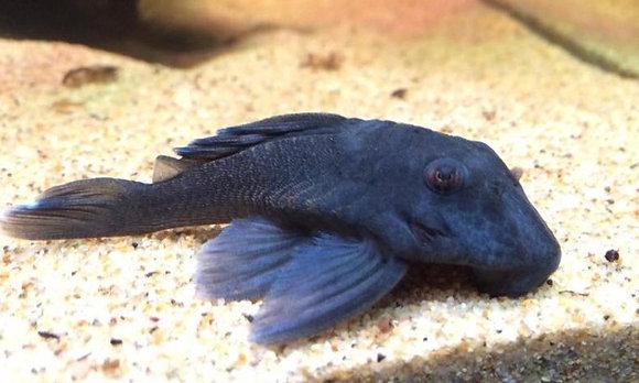 Blue Fin Panaque Plecostomus