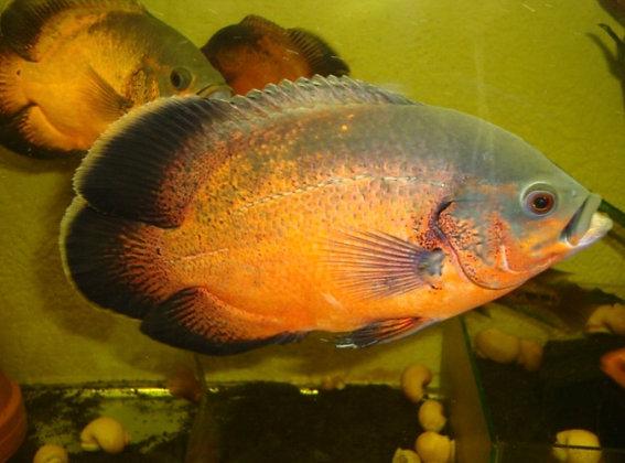 Red Oscar Cichlid