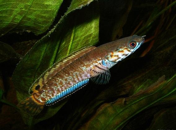 Rainbow Snakehead