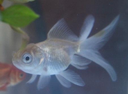 Small White Fantail 3-4cm