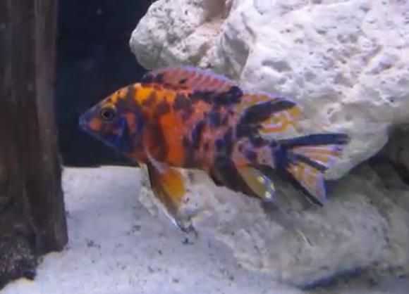 Orange Blotch Peacock Aulonocara Cichlid