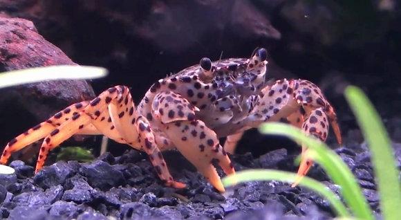 Panther Crab