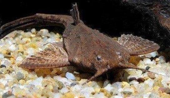Banjo Catfish