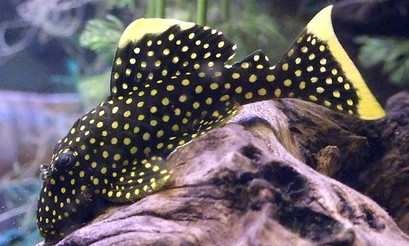 Golden Nugget Plecostomus