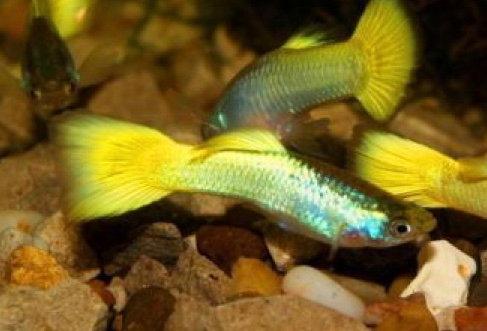 Golden Male Guppy