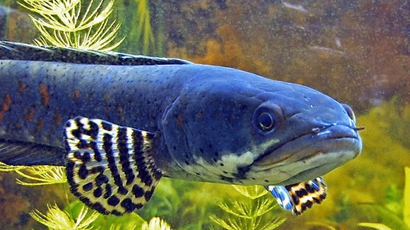 Peacock Snakehead Channa Pulchra