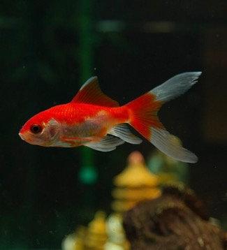 """5-6"""" Sarassa Comet Goldfish"""