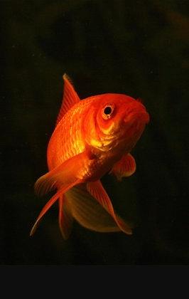 "1-2"" Goldfish"