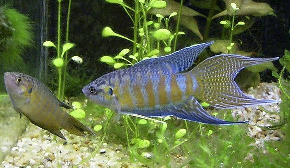 Paradise Fish Gourami