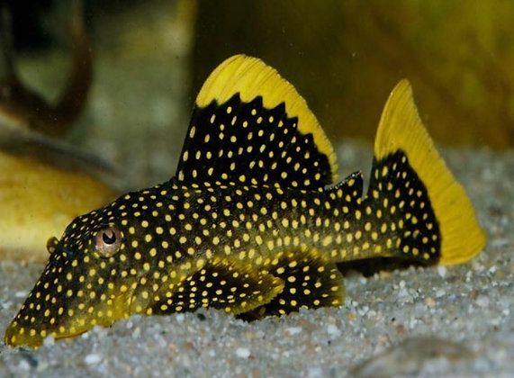 Queen Golden Nugget Plecostomus