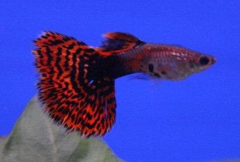 Multicolour Male Guppy