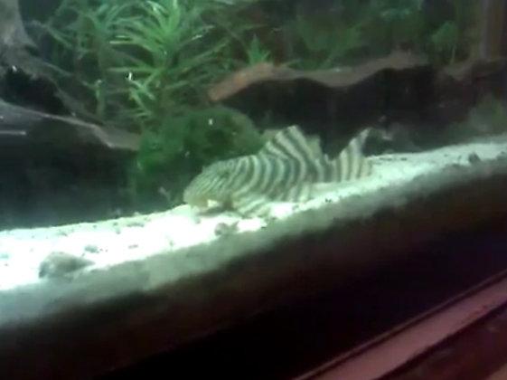 Tiger Plecostomus L002