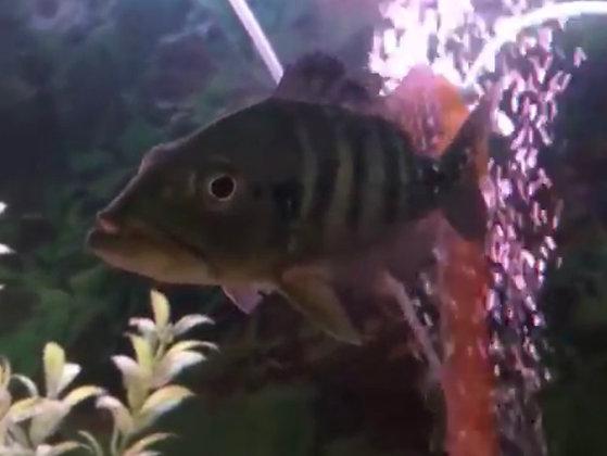 Azul Peacock Bass Cichlid