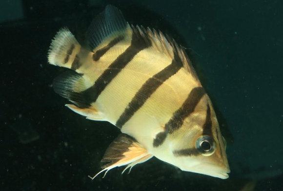 Datnoid Tiger Fish Microlepsis