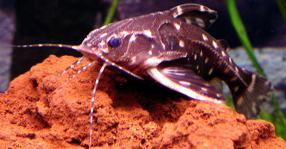 Spotted Dora Catfish