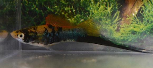 Black Swordtail