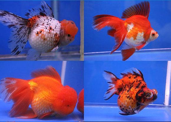 Large Orandas 10-12cm