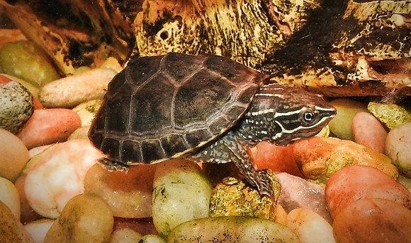 Black Musk Turtle
