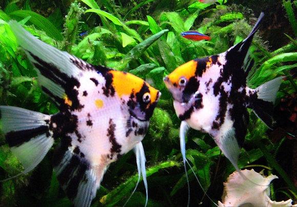 Yellow and Black Angelfish 4-5cm