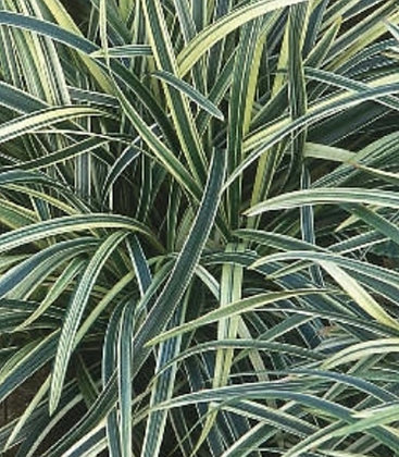 Bunched-Variegated Fountain Plant