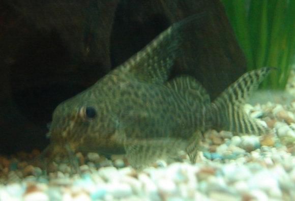 Threadfin Synodontis Catfish