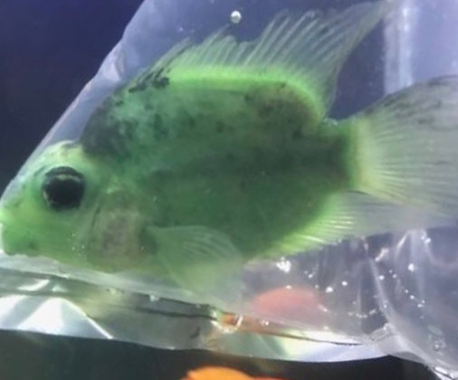 Green Parrot Cichlid