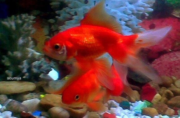 Medium Red Fantail 5-6cm
