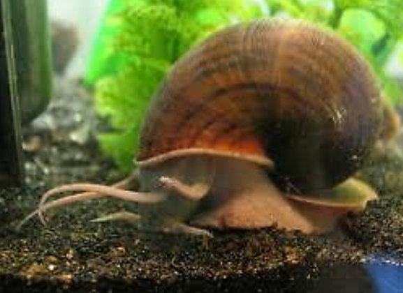 Black Apple Snail